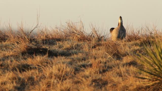 hd video greater prairie chickens on lek northeast colorado - lek stock videos & royalty-free footage