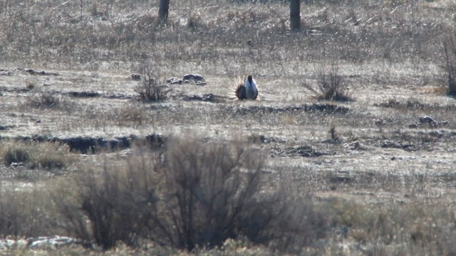 hd video gunnison sage grouse compete on colorado lek - gunnison stock videos & royalty-free footage