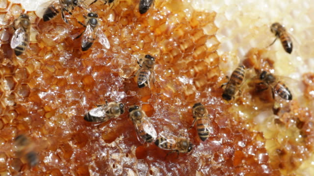 hd-video honeybee kolonie auf kamm mit honig denver, colorado - tierkolonie stock-videos und b-roll-filmmaterial