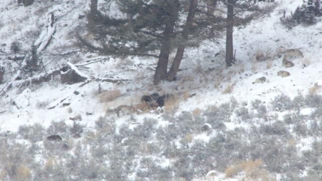hd video lamar canyon wolf pack on kill yellowstone - kronhjort bildbanksvideor och videomaterial från bakom kulisserna
