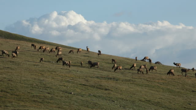 vídeos de stock, filmes e b-roll de vídeos em hd de grandes elk manada na tundra rocky mountain np - arrebanhar