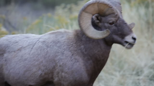 hd video large horned bighorn sheep ram, colorado - bighorn sheep stock videos & royalty-free footage