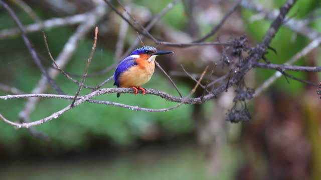 HD video Madagascar Malagasy kingfisher in Perinet Andasibe National Park