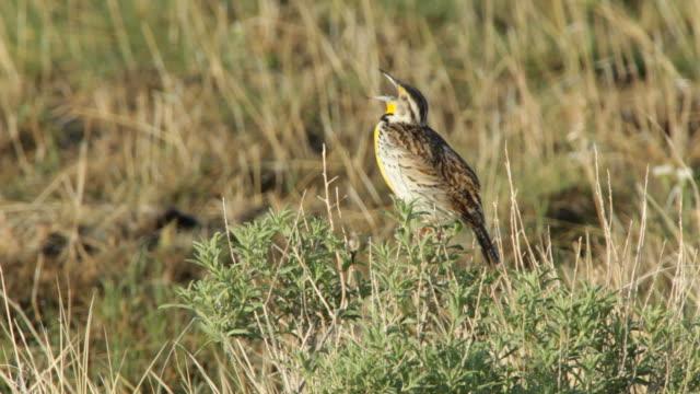 hd video meadowlark sings loudly in morning - badlands national park stock videos & royalty-free footage