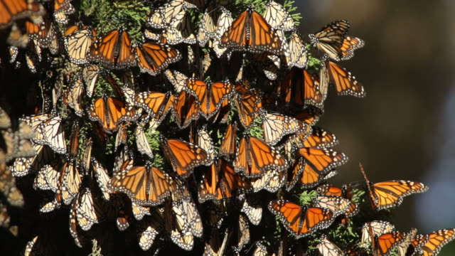 HD Video Migrating Monarch butterflies in Monterey Bay California