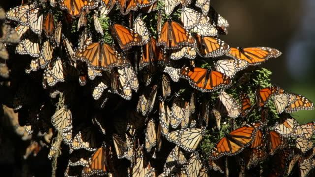 HD Video Migrating Monarch butterflies in Monterey Bay California