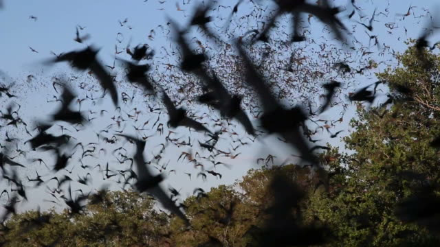 hd video millions of mexican free-tailed bats texas - mammal stock videos & royalty-free footage