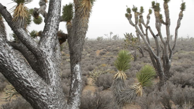 hd video mojave desert blizzard in national preserve california - yucca brevifolia stock videos & royalty-free footage