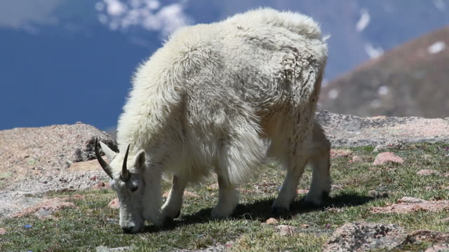HD video Mountain goat grazes Mount Evans Colorado