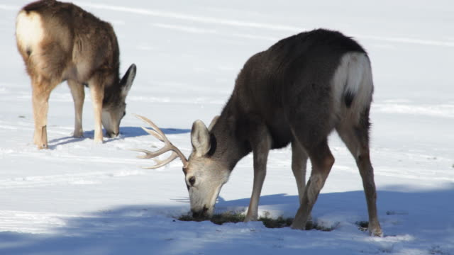 hd video mule deer graze in snow morrison colorado - mule stock videos & royalty-free footage