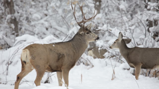 hd video mule deer herd in winter snow, colorado - fawn stock videos & royalty-free footage