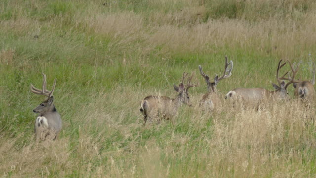 hd video mule deer walk through colorado grasslands and foothills - mule stock videos & royalty-free footage