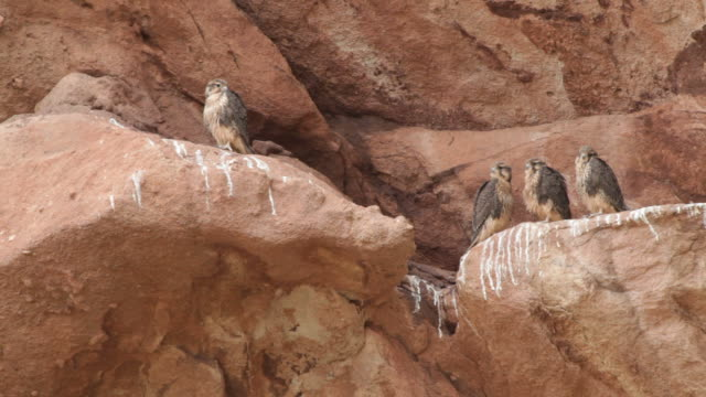 HD Video nesting Prairie Falcon chicks Red Rocks Park Colorado