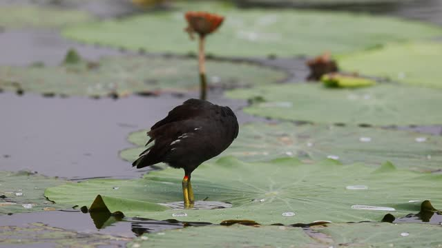 video of a black water chicken standing on a lotus leaf in shijiazhuang, hebei province. footage by: costfoto / barcroft studios via getty images - animals in the wild stock videos & royalty-free footage