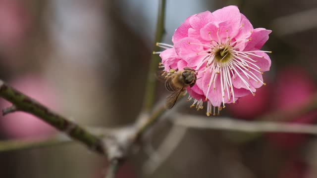 video of a busy bee gathering nectar from a plum blossom in yichang, hubei province. footage by: costfoto / barcroft studios via getty images - botany stock videos & royalty-free footage