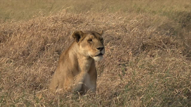 Video of a lioness in Serengeti National Park, Tanzania.