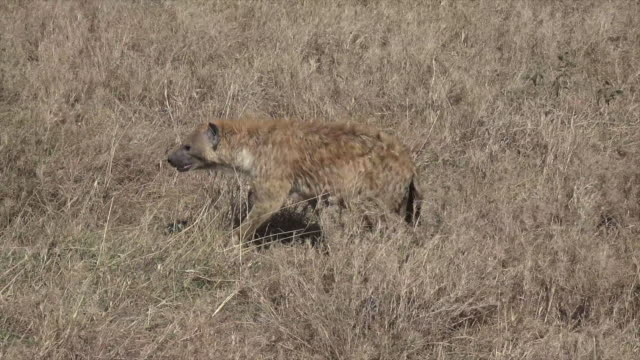 Video of a Spotted Hyena in Serengeti National Park, Tanzania.