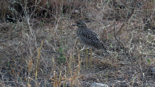 video of a wood sandpiper in tarangire national park, tanzania. - sandpiper stock videos & royalty-free footage