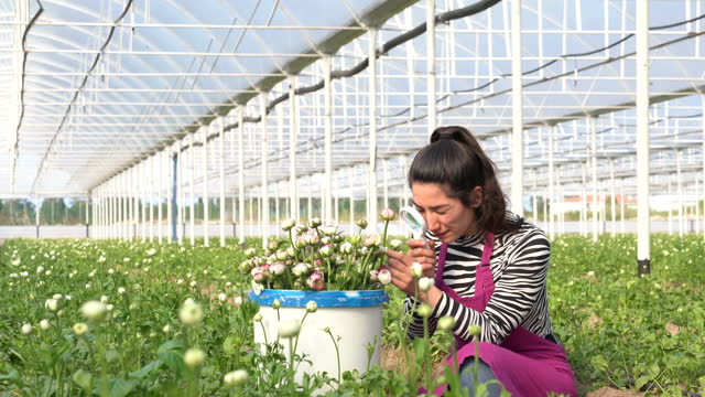 4k video of agricultural engineer examining flowers in horticulture greenhouse - ranunculus stock videos & royalty-free footage
