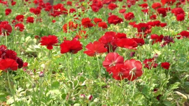 UHD Video Of Anemone Flowers