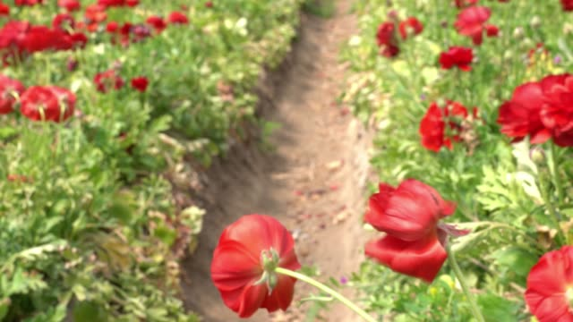 uhd video of anemone flowers - selimaksan stock videos & royalty-free footage