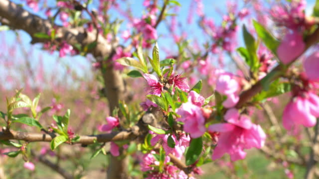 video of blossoming peach tree in spring - peach stock videos & royalty-free footage