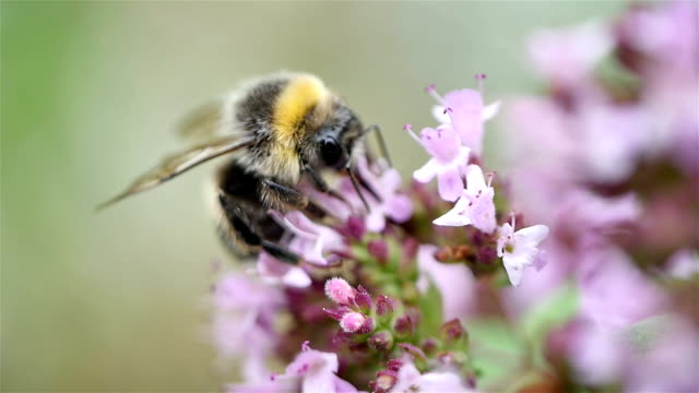 video of bumble bee in macro shot in slow motion - bumblebee stock videos & royalty-free footage