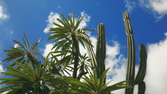 4K Video von Kaktus Baum bewegt sich mit dem Wind gegen blauen Himmel