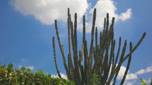 4K Video van Cactus boom verplaatsen met de Wind tegen blauwe hemel