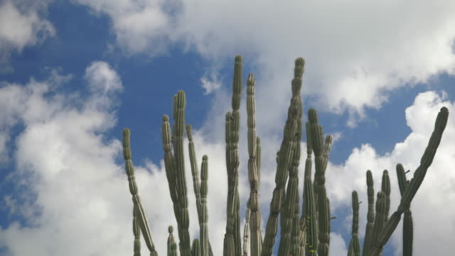 4K Video of Cactus Tree Moving with the Wind Against Blue Sky