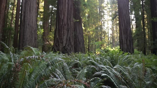 video of california redwood forest landscape with ferns in summer - coast redwood stock videos & royalty-free footage