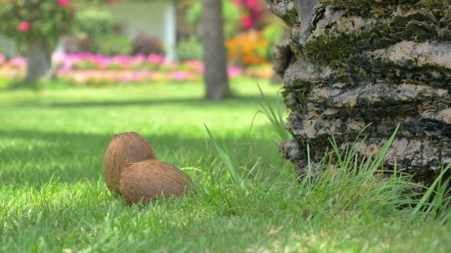 Video of coconuts under palm tree pack shot in 4K