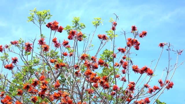 UHD Video Of Coral Tree Branches On Blue Sky