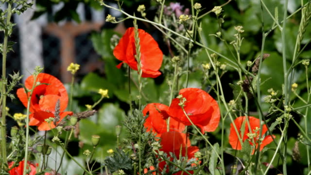 Flowers red and  yellow with roadside traffic HD video