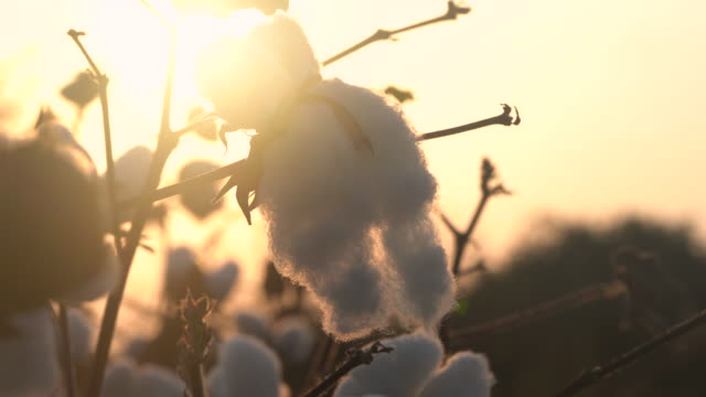 4k video of cotton bolls in cotton field during sunset - cotton ball stock videos & royalty-free footage