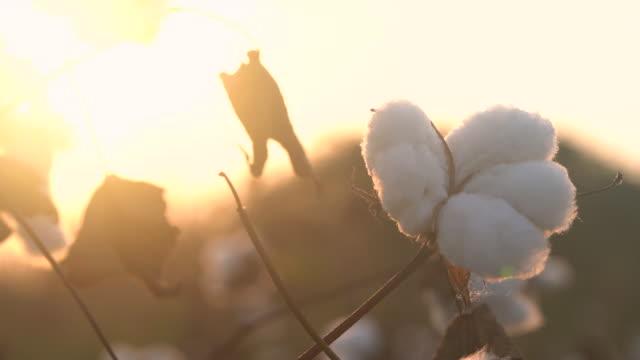 vidéos et rushes de vidéo 4k de bolls de coton dans le champ de coton pendant le coucher du soleil - coton hydrophile