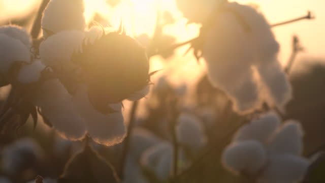 4k video of cotton bolls in cotton field during sunset - selimaksan stock videos & royalty-free footage