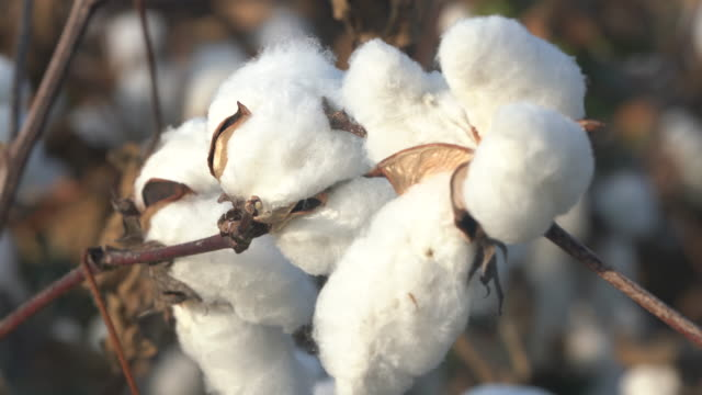 4k video of cotton bolls in cultivated field - cotton ball stock videos & royalty-free footage