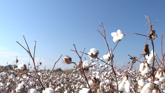 4k video of cotton bolls on clear blue sky - selimaksan stock videos & royalty-free footage