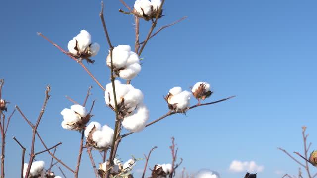 vidéos et rushes de vidéo 4k de coton bolls sur clear blue sky - coton hydrophile