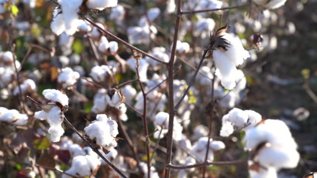 hd video of cotton plant - selimaksan stock videos & royalty-free footage