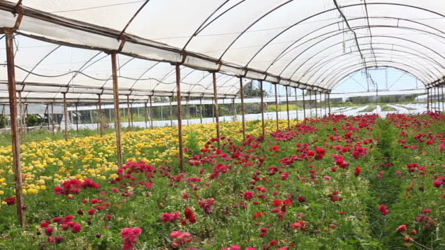 hd video of cut flower bed in greenhouse - ranunculus stock videos & royalty-free footage