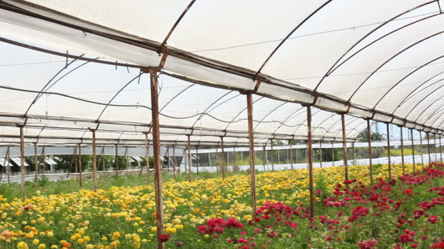 HD Video Of Cut Flower Bed In Greenhouse