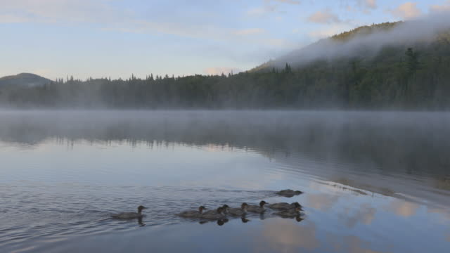 4K Video of Ducks Swimming at Sunrise at Monroe Lake, Tremblant, Quebec, Canada