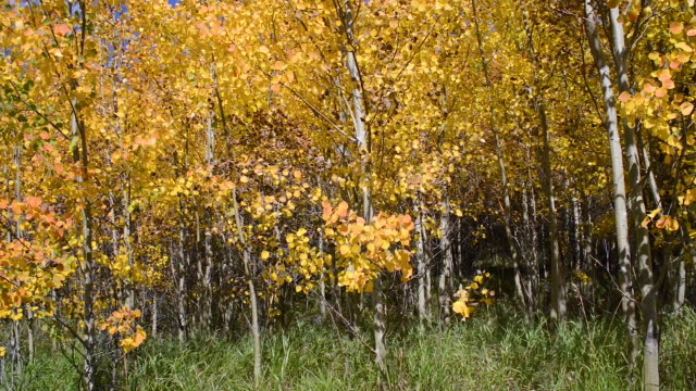 video of fall colors in the colorado rocky mountains - aspen tree stock videos & royalty-free footage