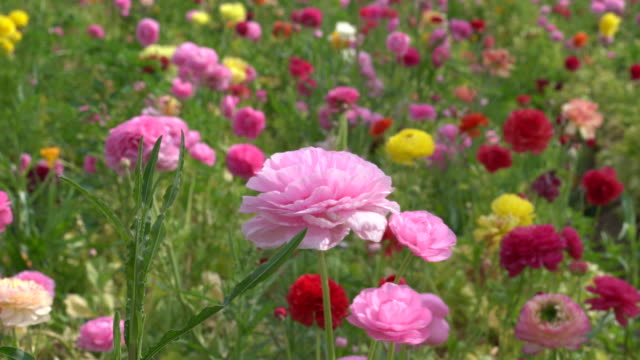 uhd video of flowers swaying in the breeze - ranunculus stock videos & royalty-free footage