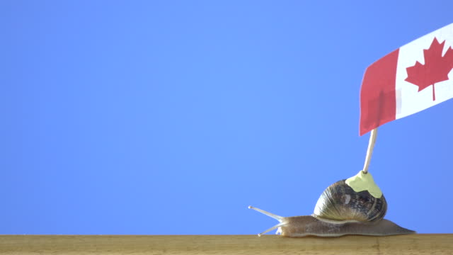 uhd video of garden snail carrying canadian flag - selimaksan stock videos & royalty-free footage