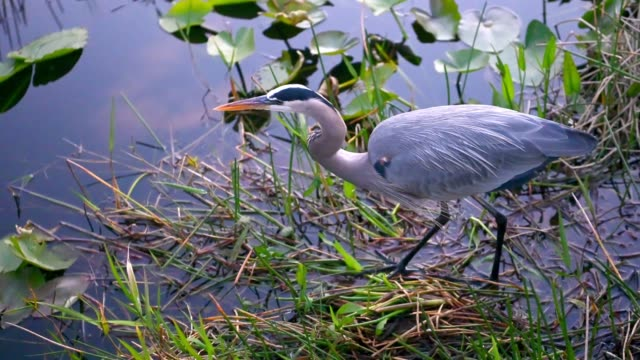 video of great blue heron standing in water in everglades national park florida - walking in water stock videos & royalty-free footage