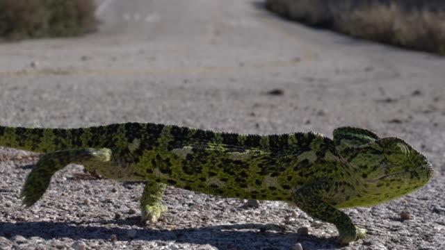 uhd video of green lizard walking on asphalt - lizard stock videos & royalty-free footage