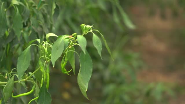 uhd video von green pepper garden - selimaksan stock-videos und b-roll-filmmaterial